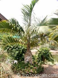 Hyophorbe verschaffeltii, Mascarena verschaffeltii, Spindle Palm  Click to see full-size image