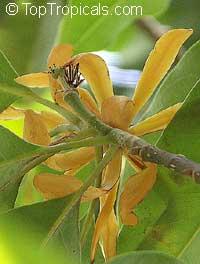 Magnolia rajaniana, Michelia champaca Rajaniana, Champa Khao, Cream colored Champa, Magnolia Ivory, Champee Si Nuan, Peacock Magnolia  Click to see full-size image