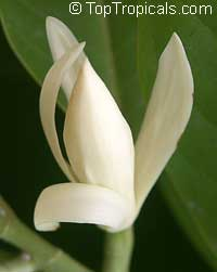 Magnolia lacei, White MicheliaClick to see full-size image