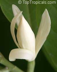 Magnolia lacei, White Michelia  Click to see full-size image