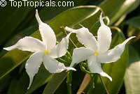 Tabernaemontana orientalis, Ervatamia orientalis, Ervatamia pubescens, Ervatamia floribunda, Banana Bush, Native GardeniaClick to see full-size image
