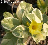 Urechites lutea, Vinca lutea, Pentalinon luteum, Yellow Mandevilla, Yellow Dipladenia, Wild AllamandaClick to see full-size image