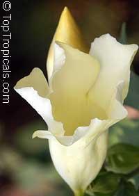 Allamanda sp. Alba, Allamanda Blanca  Click to see full-size image