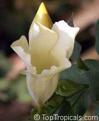 Allamanda sp. Alba, Allamanda BlancaClick to see full-size image