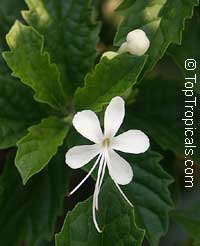 Clerodendrum calamitosum, White Butterfly Bush