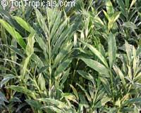 Alpinia vittata, Alpinia albolineata, Alpinia sanderae, Alpinia tricolor, Striped Narrow Leaf Ginger, Variegated Ginger  Click to see full-size image