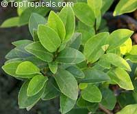 Magnolia figo, Michelia figo, Magnolia fuscata, Banana Magnolia, Banana Shrub, Port Wine Magnolia  Click to see full-size image