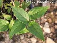 Nyctanthes arbor-tristis, Arbor Tristis, Sad tree, Night Jasmine, Parijat  Click to see full-size image