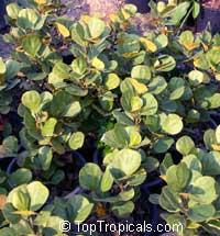 Ficus deltoidea, Ficus diversifolia, Mistletoe FigClick to see full-size image