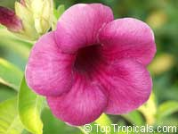 Allamanda blanchetii, Allamanda violacea Cherry Jubilee, Cherry allamanda, Purple AllamandaClick to see full-size image