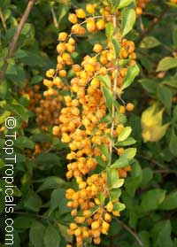 Duranta erecta, Duranta repens, Duranta, Honey Drops, Golden Dewdrop, Pigeon Berry  Click to see full-size image