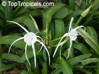 Hymenocallis sp., Spider Lily, Ismene, Sea Daffodil  Click to see full-size image
