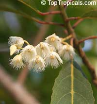 Elaeocarpus hygrophyllus, Blue Olive Berry, Scrub Ash, Ash Quandong, Fairy Petticoats, Native Olive, White Boree, Fringe Bells, Fairy Petticoats  Click to see full-size image