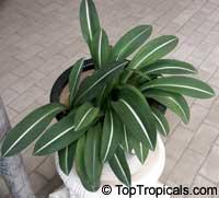 Hippeastrum reticulatum var. striatifolium, Striped-Leaved AmaryllisClick to see full-size image