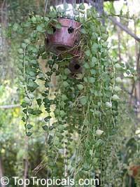 Dischidia ruscifolia - Million Hearts  Click to see full-size image