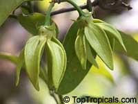 Artabotrys siamensis, Climbing ilang-ilang, Manorangini, Hara-champa, Kantali champa  Click to see full-size image
