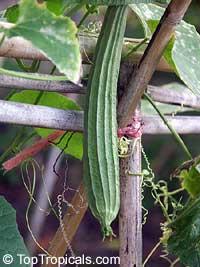 Luffa acutangula, Ridged luffa, Vegetable sponge, Angled Luffa, Angled Loofah  Click to see full-size image