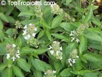 Ocimum americanum, Ocimum canum, American Basil, Lemon basil, Hoary Basil, Hairy Basil  Click to see full-size image