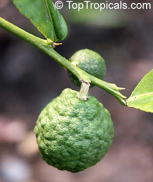 Citrus Hystrix Indonesian Lime Wild Lime Kaffir Lime