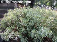 Justicia gendarussa, Gendarussa vulgaris, Daun Rusa, Gandarusa, Water willow  Click to see full-size image