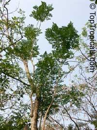 Millingtonia hortensis, Tree Jasmine, Indian Cork Tree, Maramalli, Tamil, Akash neemClick to see full-size image