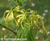 Cananga fruticosa, Cananga odorata var. Fruticosa, Cananga kirkii, Dwarf Ylang-Ylang, Dwarf Chanel #5 TreeClick to see full-size image