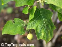 Solanum torvum, Turkeyberry, Devil's Fig  Click to see full-size image