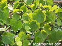 Tinospora crispa, Cocculus crispum, Menispermum crispum, PutarwaliClick to see full-size image