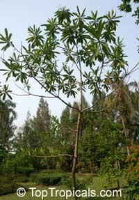 Alstonia macrophylla, Thungfaa, Devil Tree  Click to see full-size image