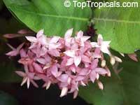 Ixora lobbii, Ixora taiwanensis, Glossy Pink Ixora  Click to see full-size image