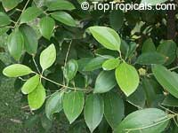Cinnamomum iners, Cinnamon  Click to see full-size image