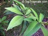 Croton lachnocarpus, Hairyfruit Croton  Click to see full-size image