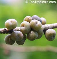 Bridelia ovata, Ragah  Click to see full-size image