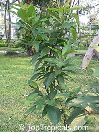 Tarenna hoaensis, Chan-ta-na  Click to see full-size image