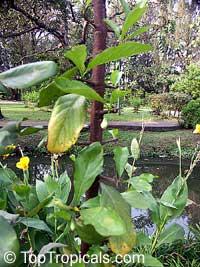 Tamilnadia uliginosa, Tamilnadia  Click to see full-size image