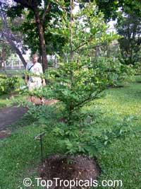Polyalthia erecta, Nom-noi  Click to see full-size image
