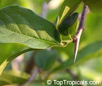 Alangium salviifolium, Sage-leaf Alangium  Click to see full-size image
