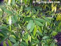 Mitrephora vandaeflora, Mitrephora  Click to see full-size image