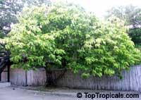 Pisonia alba, Pisonia brunoniana, Lettuce tree, Cabbage tree, Hawaiian Papala kepau, Sule sappu, Lachaikottei  Click to see full-size image