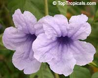 Ruellia tuberosa, Minnieroot, Waterkanon  Click to see full-size image