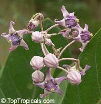 Calotropis gigantea, Giant Milkweed, Crown Flower, Giant Calotrope, Arka, Jilledu, Erukkam Madar, White Madaar  Click to see full-size image