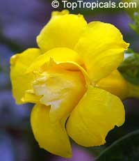 Allamanda williamsii, Golden Trumpet Vine  Click to see full-size image