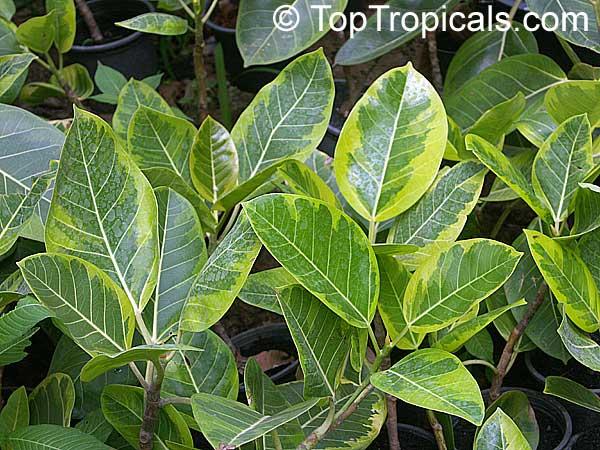Ficus Altissima Council Tree Toptropicals Com