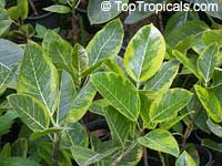 Ficus altissima - seeds  Click to see full-size image