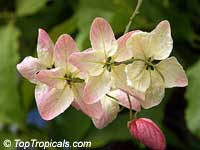 Cassia bakeriana x fistula, Apple Blossom Tree  Click to see full-size image