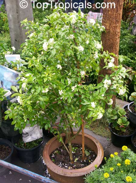 http://toptropicals.com/pics/garden/05/7/7272.jpg