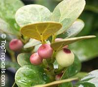 Ficus deltoidea, Ficus diversifolia, Mistletoe Fig  Click to see full-size image