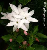 Jasminum dichotomum, Rose Bud Jasmine, Everblooming Jasmine, Gold Coast JasmineClick to see full-size image