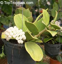Hoya pachyclada, Wax plant