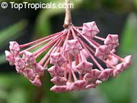 Hoya pubicalyx, Harlequin Wax Plant